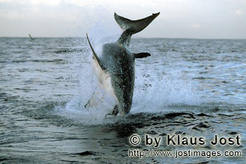 Weißer Hai/Great White shark/Carcharodon carcharias        Breaching Great White Shark near Seal Is