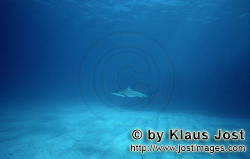 Blacktip Shark/Carcharhinus limbatus        Blacktip shark on a bright sandy bottom        Blackt