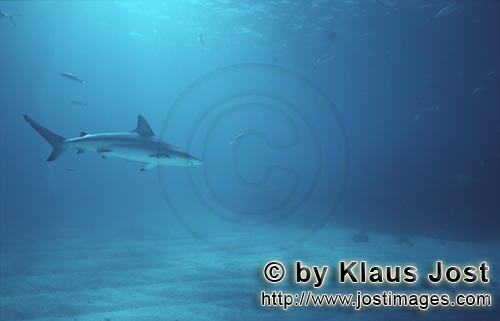 Schwarzspitzenhai/Blacktip shark/Carcharhinus limbatus        Blacktip glides through the clear wate