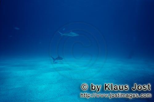 Schwarzspitzenhai/Blacktip shark/Carcharhinus limbatus        Blacktip shark is approaching a diver<
