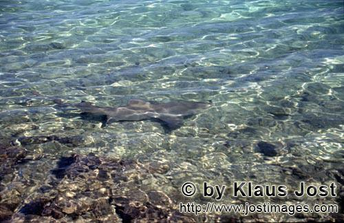 Bull Shark/Carcharhinus leucas        Bull Shark in shallow water         Together with the Tiger Sh