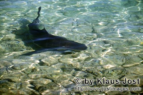 Bull Shark At The Shore Of Walker S Cay