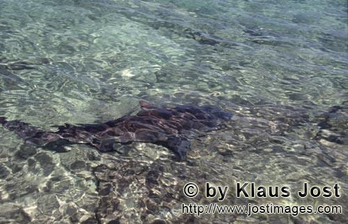 Bullenhai/Bull Shark/Carcharhinus leucas        Bull Shark in shallow water         Together with th