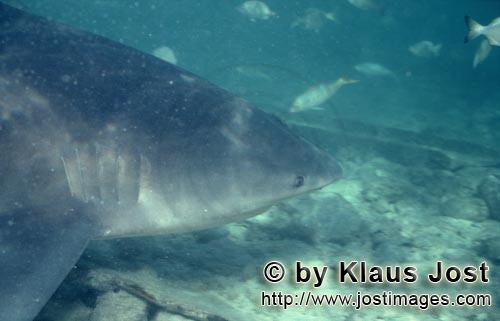 Bullenhai/Bull Shark/Carcharhinus leucas        Bull shark portrait        Together with the Tiger S