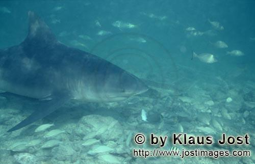 Bullenhai/Bull Shark/Carcharhinus leucas        Bull shark in a shoal of fish        Together with t