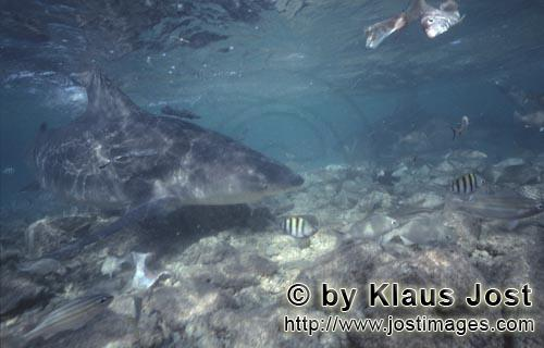 Bull Shark/Carcharhinus leucas        Bull shark explores the shallow water area        Together wit