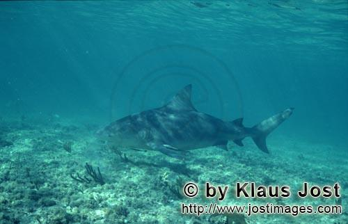 Bullenhai/Bull shark/Carcharhinus leucas        Bull Shark swimming close to the seabed        Toget