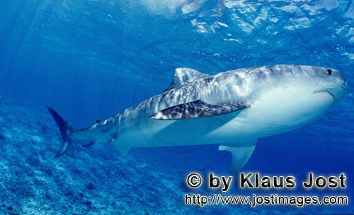 Tigerhai/Tiger shark/Galeocerdo cuvier        Tiger shark hunting for albatross chicks        On our