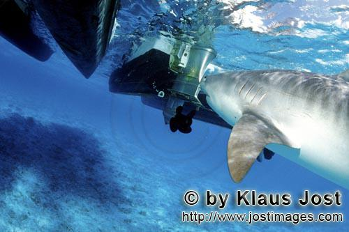 Tigerhai/Tiger shark/Galeocerdo cuvier        Tiger shark at the boat        On our boat there is a