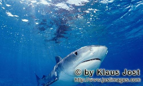 "Tigerhai/Tiger shark/Galeocerdo cuvier        Tiger Shark        On our boat there is a ""sports fi"