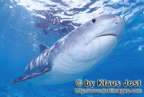 Tigerhai/Tiger shark/Galeocerdo cuvier         Extraordinary and fascinating: the Tiger Shark