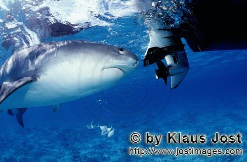"Tigerhai/Tiger shark/Galeocerdo cuvier        Tiger Shark         On our boat there is a ""sports f"
