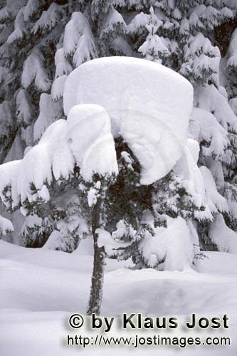 Mittenwald/Bavaria/Germany        Heavy snow load on small fir