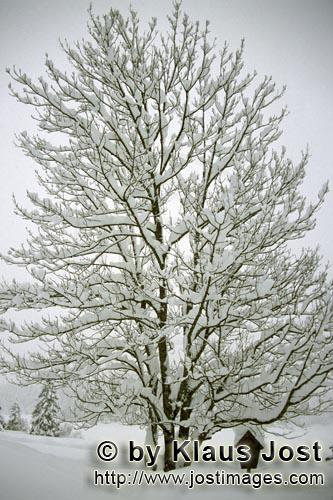 Mittenwald/Bavaria/Germany        Snow-covered tree