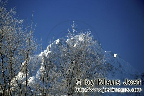 Mittenwald/Bavaria/Germany        Birches in Winter