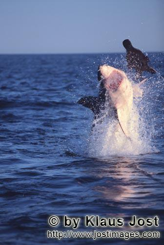 Weißer Hai/Great White shark/Carcharodon carcharias        'Flying Great White Shark' in the late a