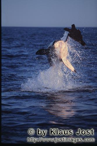"Weißer Hai/Great White shark/Carcharodon carcharias        ""Flying Great White Shark' near Seal Isl"