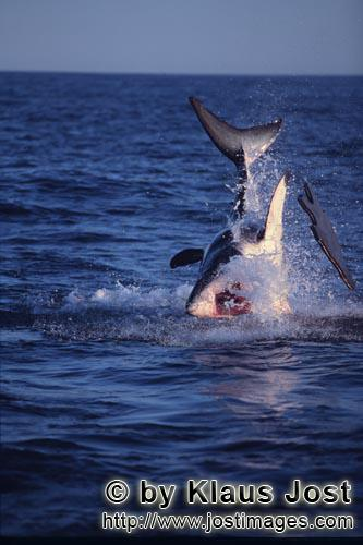 Weißer Hai/Great White shark/Carcharodon carcharias        Great white shark breach near Seal Islan
