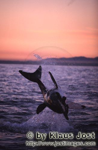 Weißer Hai/Great White shark/Carcharodon carcharias        Breaching great white shark in the last