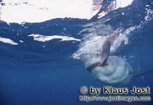 Weißer Hai/Great White shark/Carcharodon carcharias        Biting Great White shark        A gre