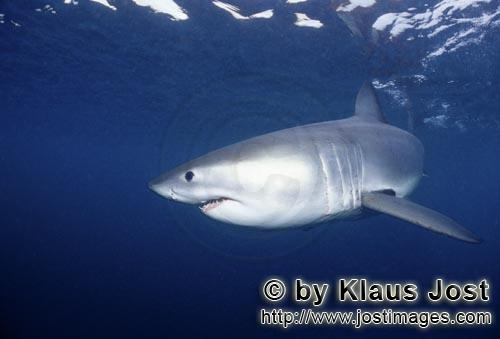 Weißer Hai/Great White shark/Carcharodon carcharias         A sensitive creature: Young Great White