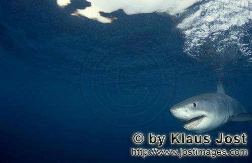 Weißer Hai/Great White shark/Carcharodon carcharias        A rare sight: Baby Great White Shark