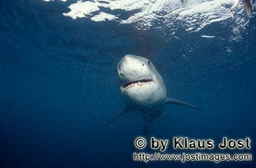 Great White shark/Carcharodon carcharias        Young Great White shark hunting directly beneath the