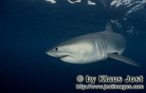 Great White shark/Carcharodon carcharias        Young Great White Shark turning away         Six se
