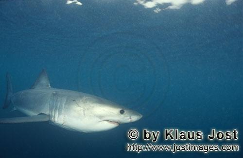 Great White shark/Carcharodon carcharias         Baby Great White Shark in the ocean         Si