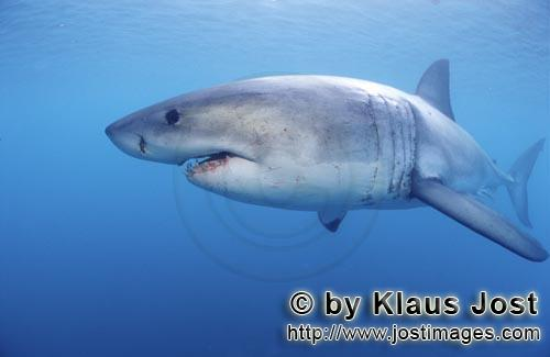 Weißer Hai/Great White shark/Carcharodon carcharias        Great White Shark searching for prey