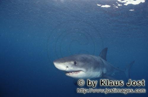 Weißer Hai/Great White shark/Carcharodon carcharias        Attentive Baby Great White Shark