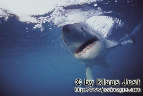 Weißer Hai/Great White Shark/Carcharodon carcharias        Great White Shark intensive contact