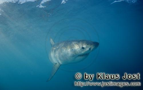 Great White shark/Carcharodon carcharias        Baby Great White Shark off the coast of South Africa