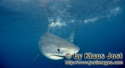 Great White shark/Carcharodon carcharias        Baby Great White Shark portrait         Six sea mile