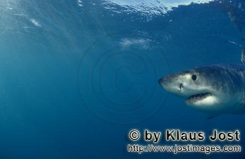 Weißer Hai/Great White shark/Carcharodon carcharias        Baby Great White Shark portrait