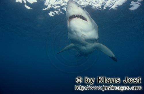 Weißer Hai/Great White shark/Carcharodon carcharia        Great White Shark searching for prey