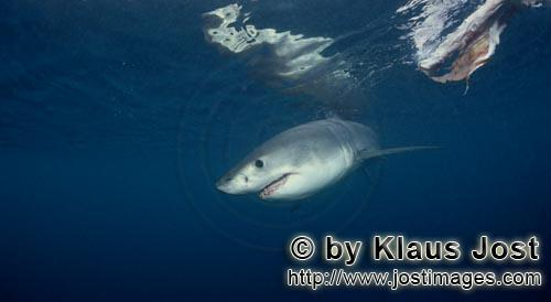 Weißer Hai/Great White shark/Carcharodon carcharias        Baby great white shark on the bait