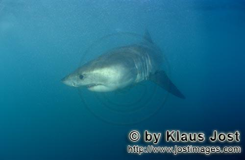 Weißer Hai/Great White shark/Carcharodon carcharias        Baby Great White Shark        Six sea mi