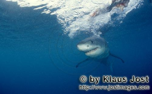 Weißer Hai/Great White shark/Carcharodon carcharias        Baby great white shark just below the su