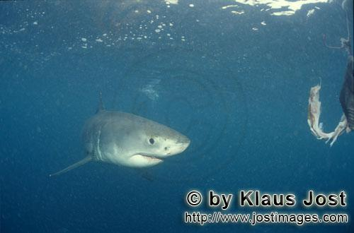 Great White shark/Carcharodon carcharias        Baby great white shark reaches the fish bait
