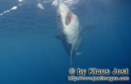 Great White shark/Carcharodon carcharias        A white shark swims up to the ocean surface