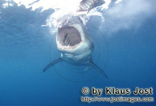 Weißer Hai/Great White shark/Carcharodon carcharias        Throat of the Great White shark