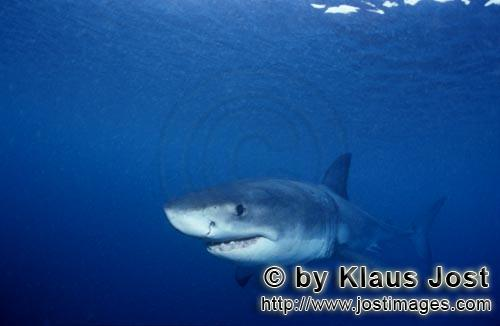 Weißer Hai/Great White shark/Carcharodon carchariasBaby Great White Shark exploring the waters around Geyser RockSix sea miles from the coast of Gansbaai, quite close to Dyer Island and Gyser Rock, a Great White Shark only a few days old is seen moving close to the water surface. Great White Sharks are fully developed after birth – at this point in time they are 1.10 to 1.60 meters long – and can take care of themselves from the start. Their nourishment consists of smaller fish and squids. Pups are very careful and vanish off the scene as soon as they see a full-grown shark. Only very few pups reach adulthood.
