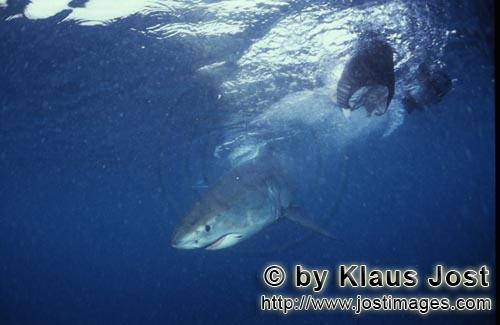 Weißer Hai/Great White shark/Carcharodon carcharias        Baby Great White Shark on fish bait