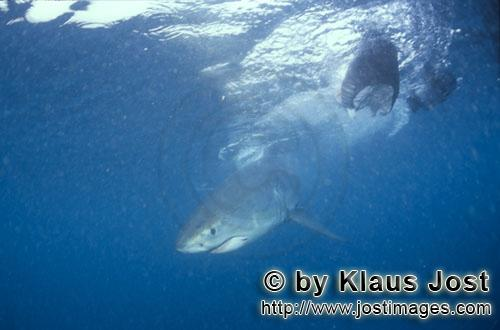 Weißer Hai/Great White shark/Carcharodon carcharias        Baby Great White Shark (Carcharodon carc