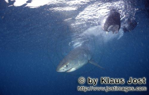 Great White shark/Carcharodon carcharias        Great white shark baby close to the fish bait