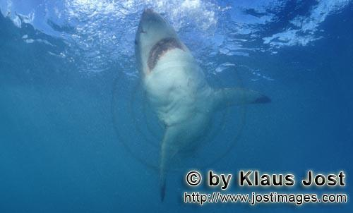 Weißer Hai/Great White shark/Carcharodon carcharias        Great White Shark ascending to the ocean