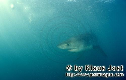 Great White shark/Carcharodon carcharias        Baby Great White Shark turns off        Six sea mile