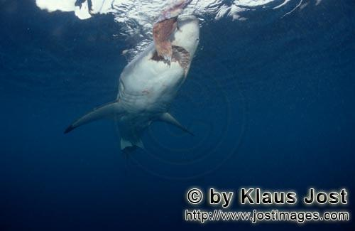 Great White shark/Carcharodon carcharias        Great White shark approaching the bait        A g