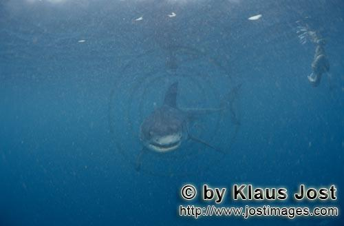 Great White shark/Carcharodon carcharias        Baby Great White in the plankton-rich water